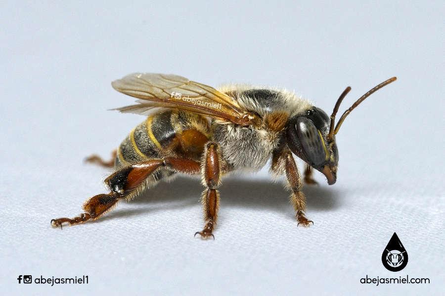 abejas apis