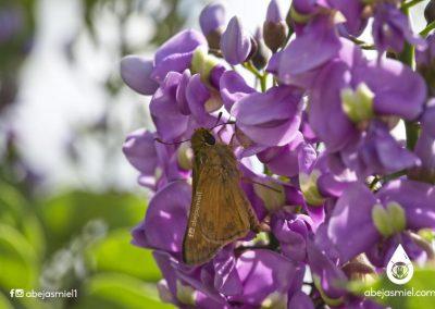 mariposa polinizando