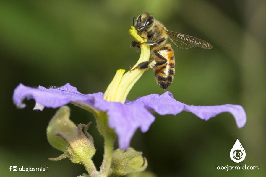 abeja exótica