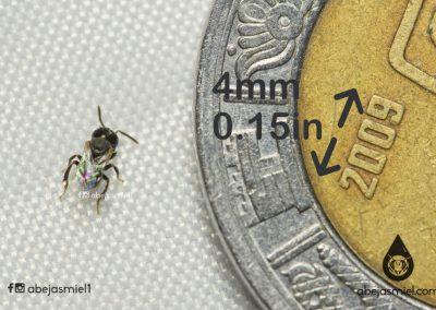Trigonisca sp