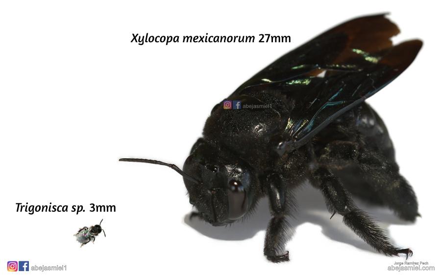 abejas nativas 1