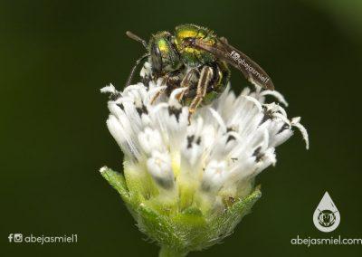 abeja halíctido