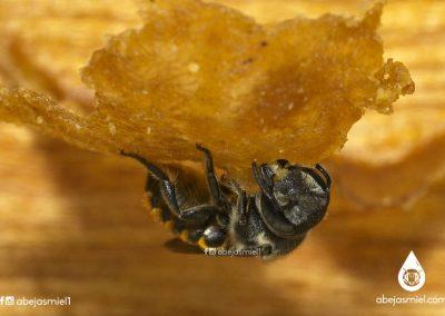 abeja solitaria