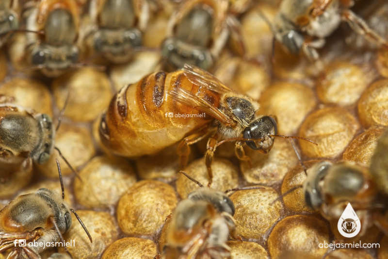 El día de las abejas es el 20 de mayo