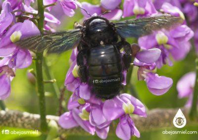 xylocopa o abeja carpintera
