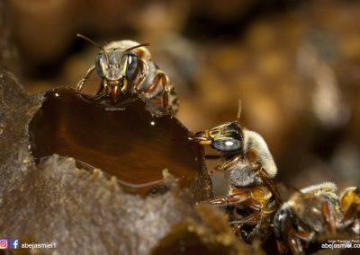 Melipona en pote de miel